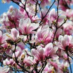 Magnolia pośrednia...