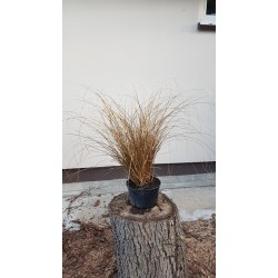 Turzyca włosowa 'Bronze Form'