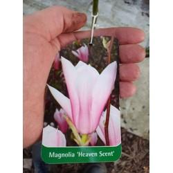 Magnolia pośrednia 'Heaven...