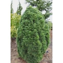 Sosna 'Globosa viridis'