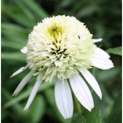 Jeżówka Honeydew
